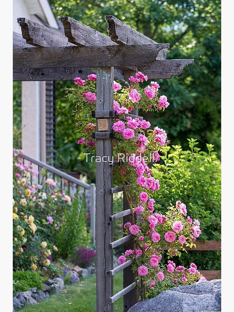 Climbing Roses by taos
