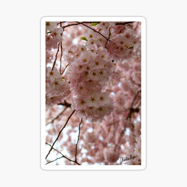 Spring is Cherry Blossom Season Sticker
