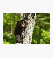 A Black Bear cub in a tree Photographic Print
