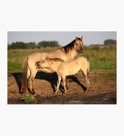 Konik Horse with Foal Photographic Print