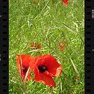 Poppy in Field by StephenRB