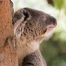 Koala by Saranet
