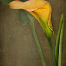 Calla Lily by jules572