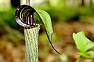 Jack-in-the-pulpit (Brown) II by Kathleen Daley