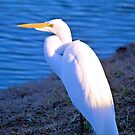The Great White Egret by Dawne Dunton