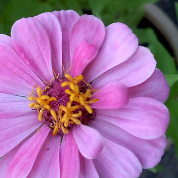Delicate Pink Flower by dharmadogstudio