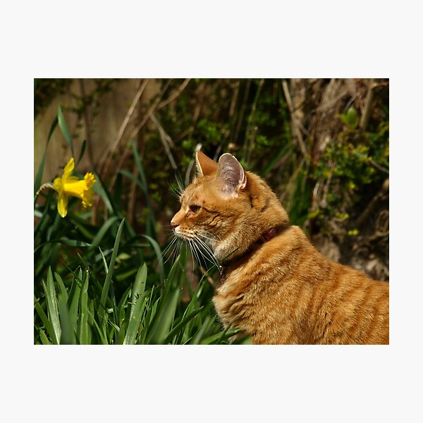 Ginger cat in garden with daffodil Photographic Print