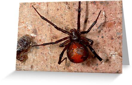 The infamous Aussie Redback Spider (1) by Trevor Needham