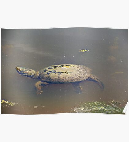Old Mossy Back Snapping Turtle Poster