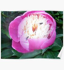 the flys also love my peony Poster