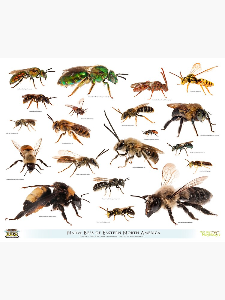 Beautiful Bees of Eastern North America by beautifulbees