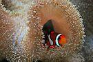 Clown Fish by Cathy Jones