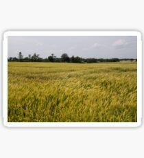 Golden Wheat Harvest, Ripening In The Wind Sticker