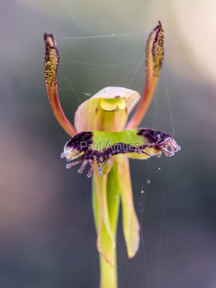 Hare Orchid by AmyesPhotograph