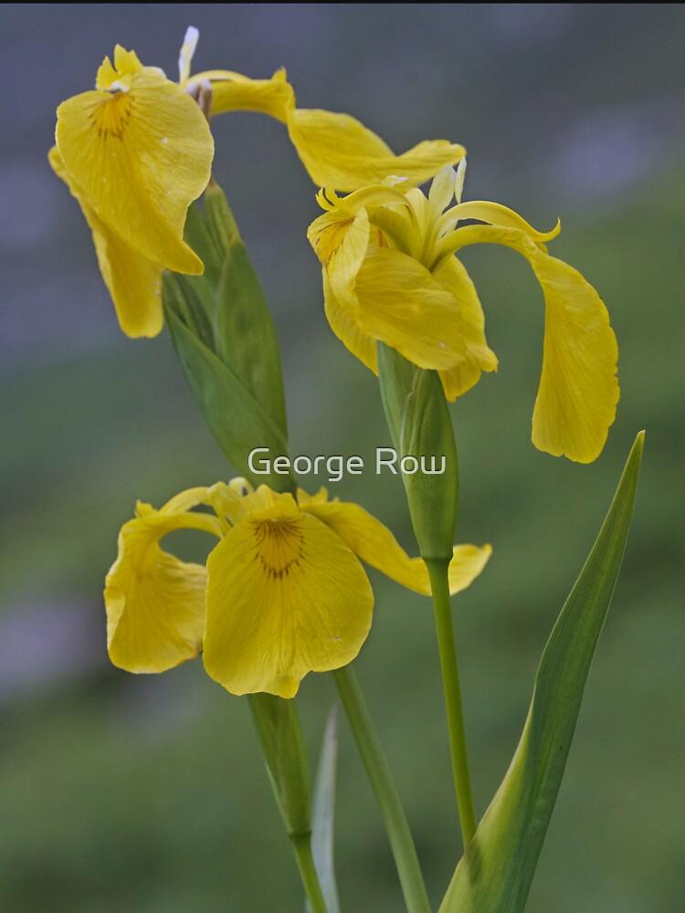 Yellow Flag Iris - Donegal by VeryIreland