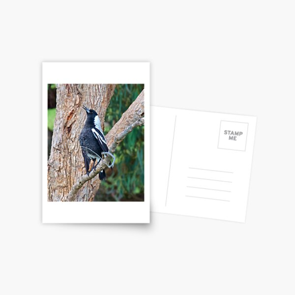 MAGPIE ~ Singing its Autumn Song by David Irwin Postcard