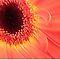 Avatar/Gerbera Macro-Gorgeous Flower Card*