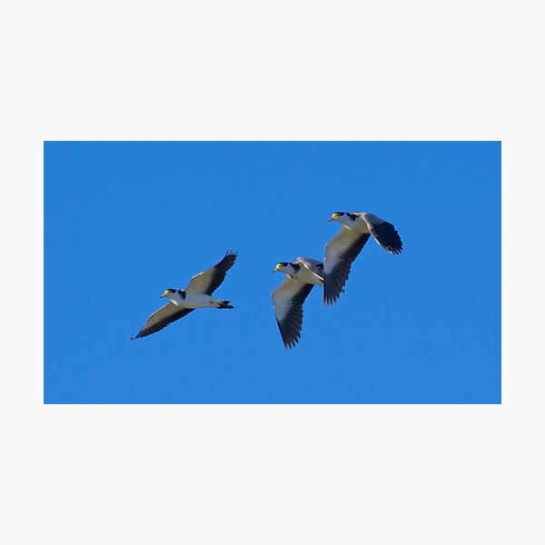 LAPWING ~ Masked Lapwing J3AALLZX by David Irwin Photographic Print