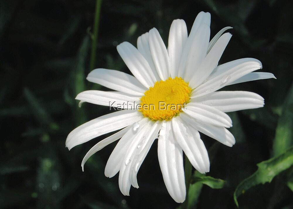One Daisy by Kathleen Brant