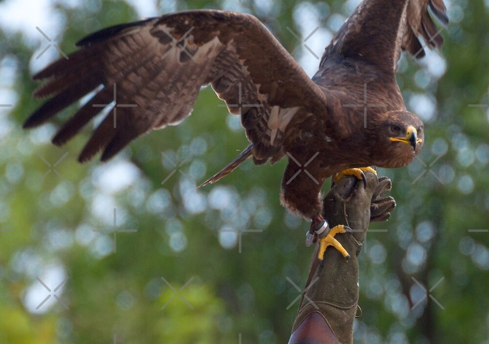 Aquila nipalensis by Mythos57