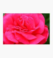 Macro on pink rose. Photographic Print