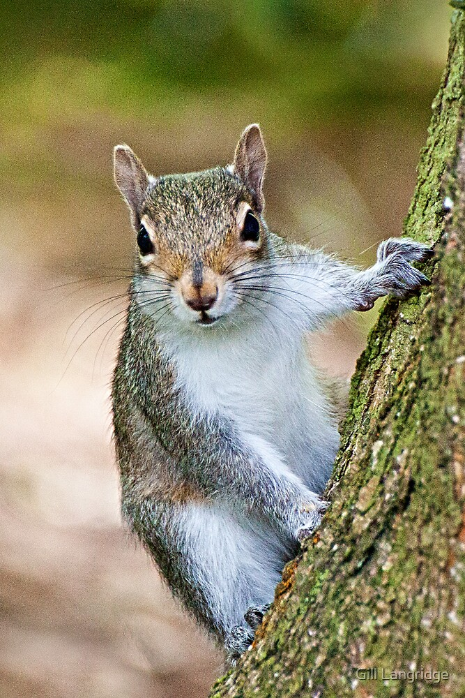 Grey Squirrel by Gill Langridge