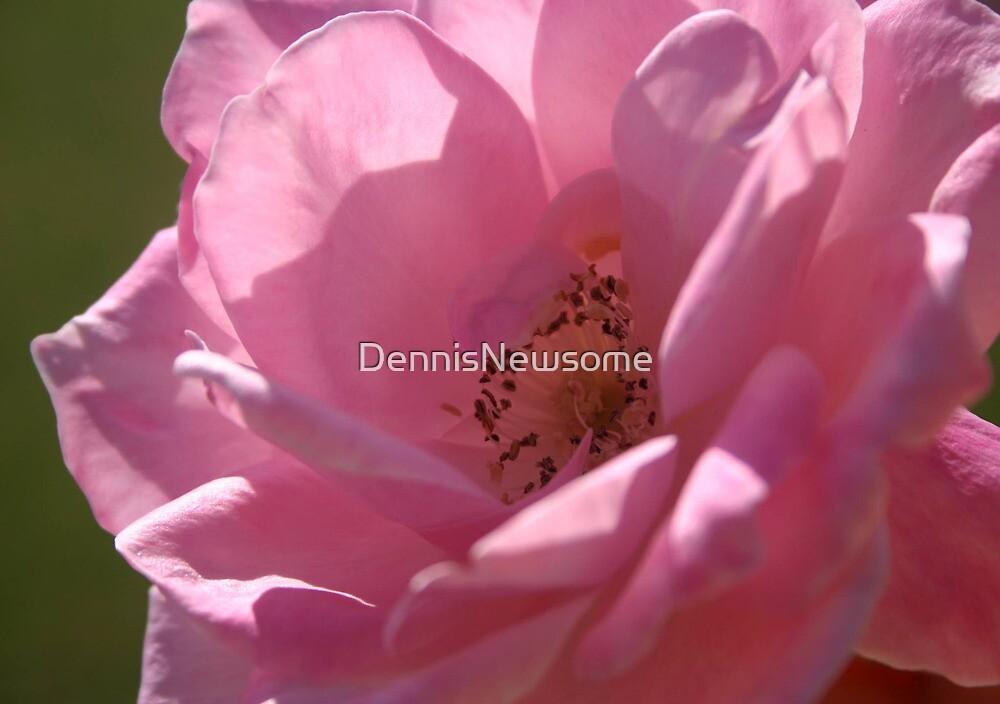 Pink Rose of Truth by DennisNewsome
