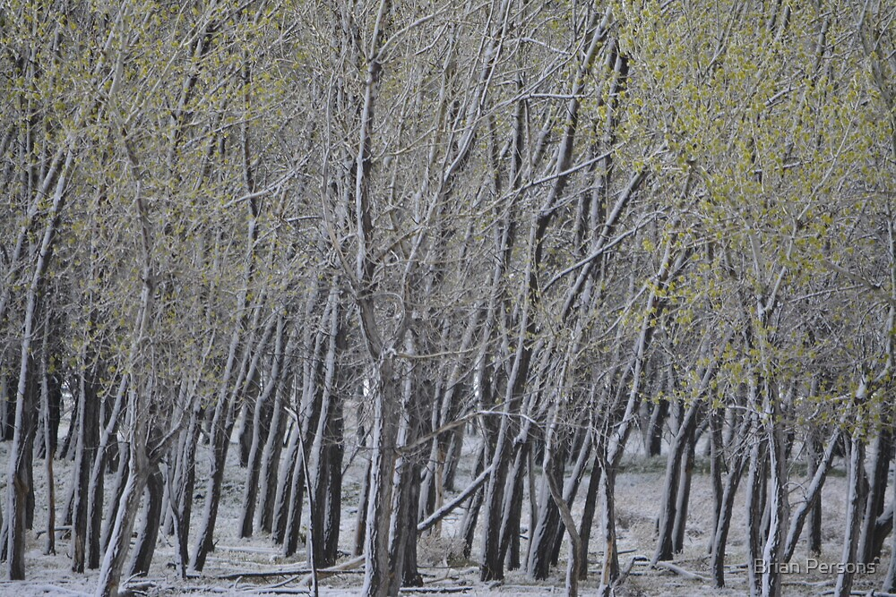 Spring snow on trees by Brian Persons
