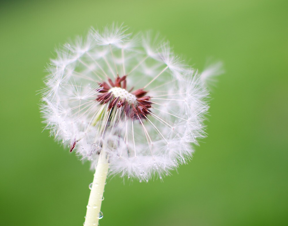 Dandelion by ChiantiImages