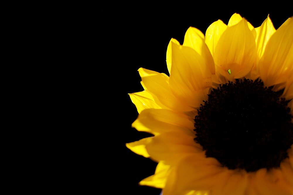 Sunflower  by ChiantiImages