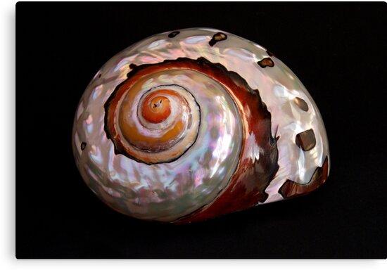 Sea Shell on Black by Robert Gipson