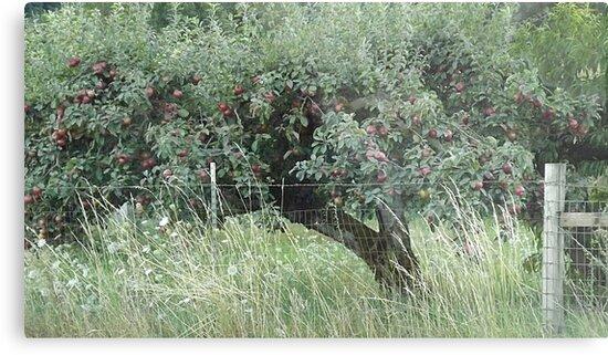 Apple Tree - Vintage Orchard - RAW by karaskye