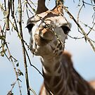 Munching Giraffe by perfectexposure