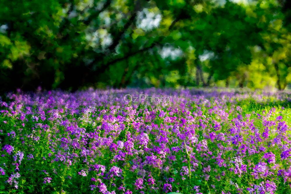 Lavender Grove by OzPhoto