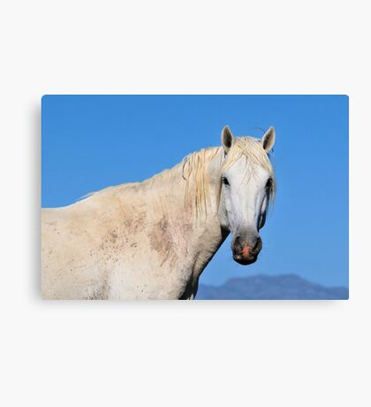 Friendly White Stallion-Close Up Canvas Print