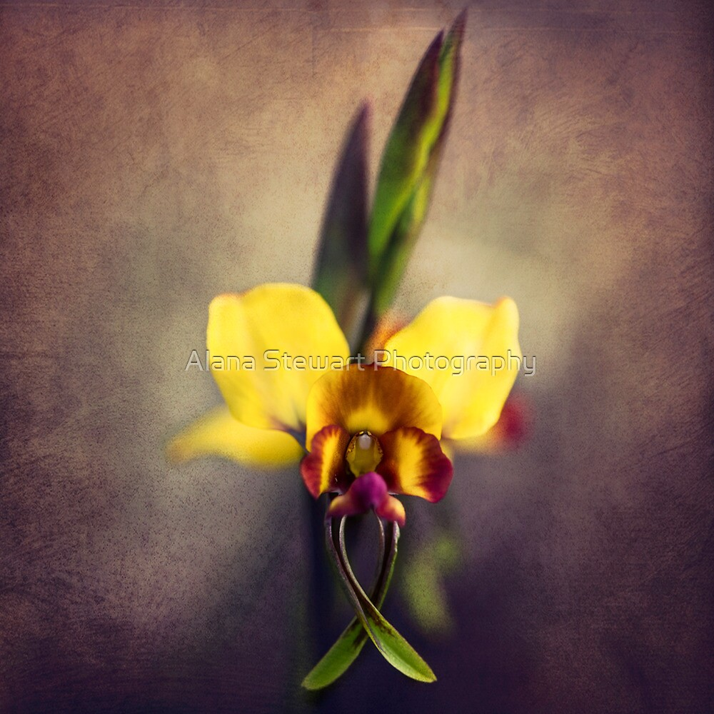 Fine Art Donkey Orchid by Alana Stewart Photography