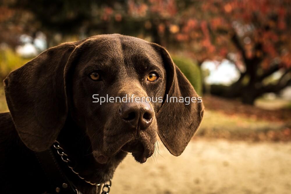 German Shorthaired Pointer by Splendiferous Images