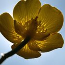 Backlit buttercup by turniptowers