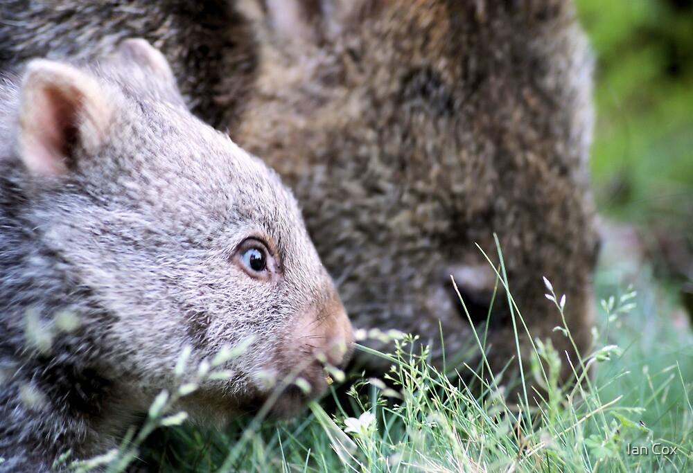 Baby Wombat 2 by Ian Cox