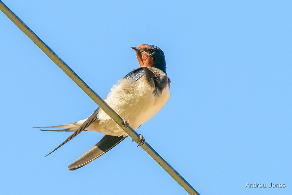 High Wire Act, swallow, County Kilkenny, Ireland by Andrew Jones