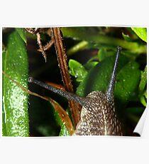 Common garden snail Poster