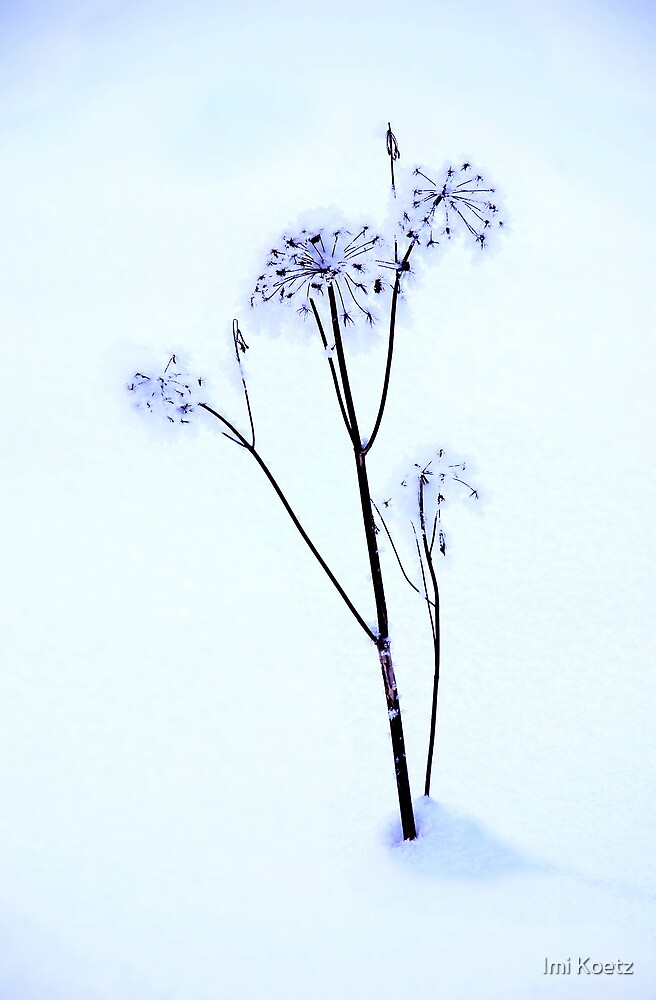 The snow-covered dry Flower by Imi Koetz