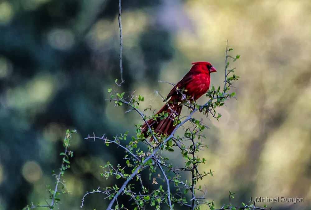 Northern Cardinal by J. Michael Runyon
