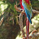 Macaw by joeschmoe96