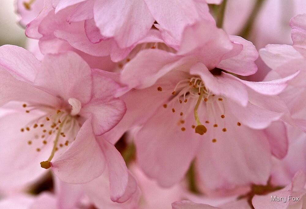 Blush by Mary Fox