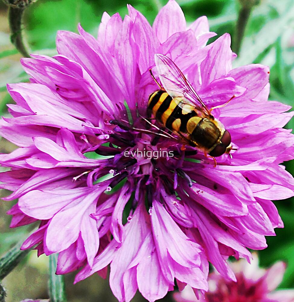 Pink Cornflower by evhiggins