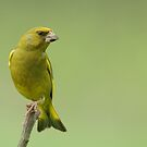Male Greenfinch by Peter Wiggerman
