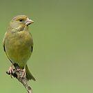 Greenfinch by Peter Wiggerman