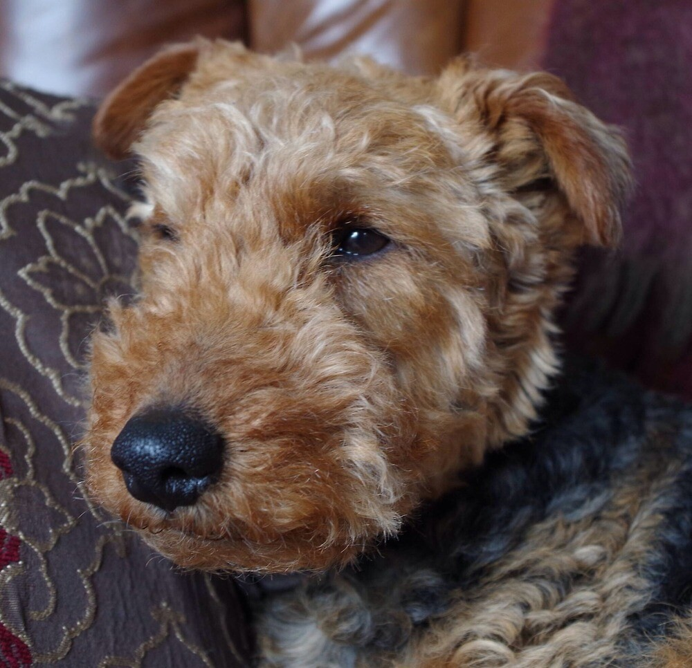 Welsh Terrier by pendlepictures
