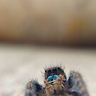 Jumping Spider by lindsycarranza